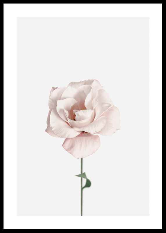 Pink Rose No1-0