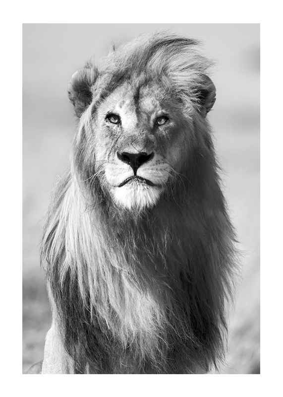 Majestic Lion-1