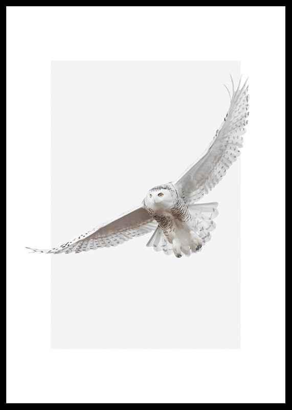 White Owl-0