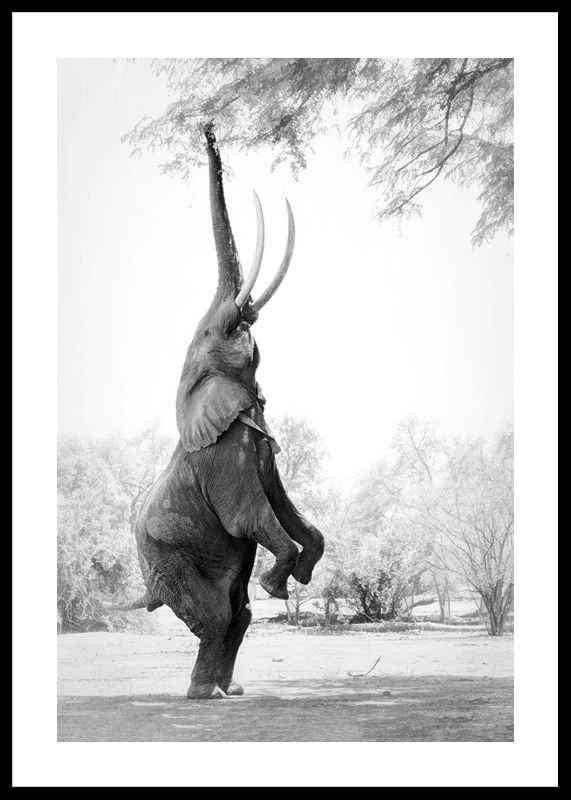 Standing Tall Elephant-0