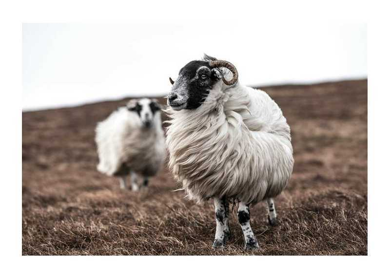 Farm Sheep-1