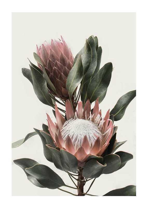 Protea Flowers-1