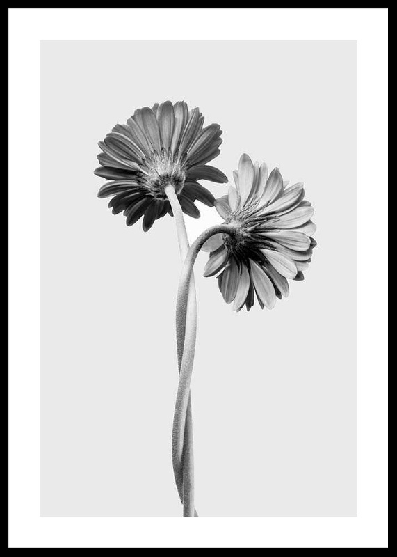 Daisies Intertwined